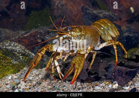 long-clawed crayfish (Astacus leptodactylus), female on the ground - Stock Photo