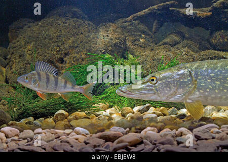 pike, northern pike (Esox lucius), getting a European perch into sight at the pebble ground of a river - Stock Photo