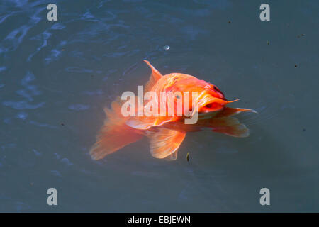 koi carp (Cyprinus carpio), sticking the head out of the water - Stock Photo