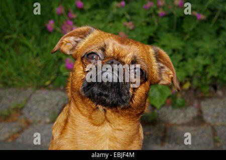 Small Brabant Griffon (Canis lupus f. familiaris), portrait - Stock Photo