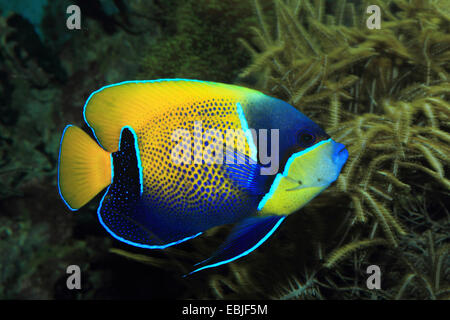 Emperor angelfish, Imperial angelfish (Pomacanthus imperator), side view - Stock Photo