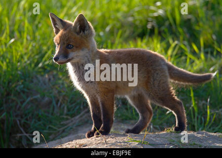 red fox (Vulpes vulpes), fox cub standing in a meadow, Germany, Schleswig-Holstein - Stock Photo