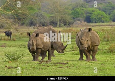 white rhinoceros, square-lipped rhinoceros, grass rhinoceros (Ceratotherium simum), three rhinocerosses in green - Stock Photo
