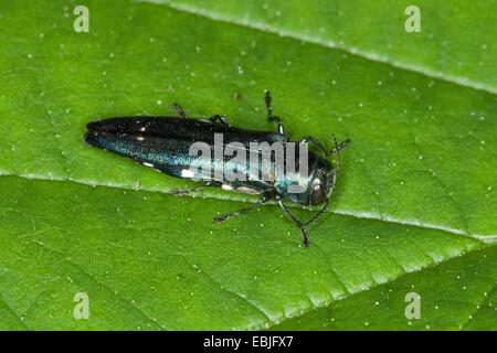 twospotted oak borer (Agrilus biguttatus), sitting on a leaf, Germany - Stock Photo