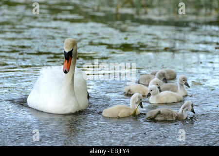 mute swan (Cygnus olor), female swimming with her chicks, Germany - Stock Photo