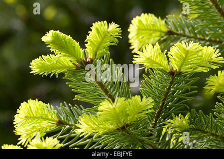 Nordmann Fir, Caucasian Fir, Christmas Tree (Abies nordmanniana), branches with young shoots - Stock Photo