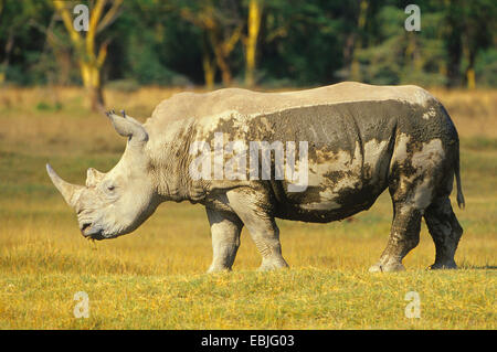 white rhinoceros, square-lipped rhinoceros, grass rhinoceros (Ceratotherium simum), standing in savannah, Kenya, - Stock Photo