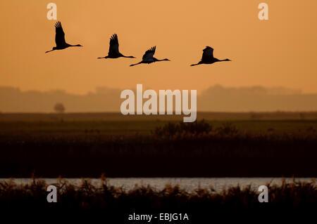 Common crane, Eurasian Crane (Grus grus), cranes flying in the evening, Germany, Mecklenburg-Western Pomerania - Stock Photo