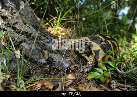 Hermanns tortoise, Greek tortoise, Boettgers tortoise (Testudo hermanni boettgeri), at pine trunk, Greece, Peloponnes - Stock Photo