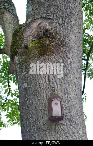 domestic cat, house cat (Felis silvestris f. catus), climbing up a tree trunk to get to a nest box fixed there, - Stock Photo