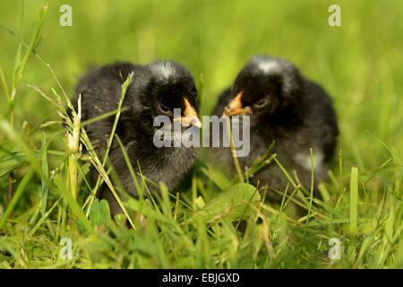 domestic fowl (Gallus gallus f. domestica), two chickens in the grass, Germany - Stock Photo