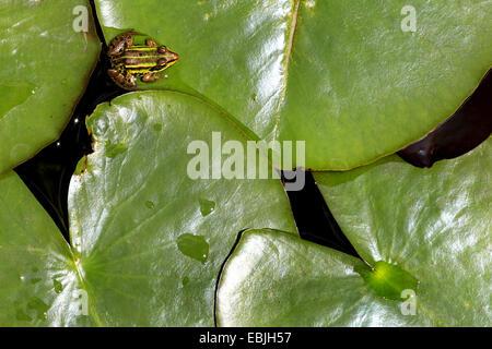 European edible frog, common edible frog (Rana kl. esculenta, Rana esculenta), sitting on lily pad, Switzerland - Stock Photo