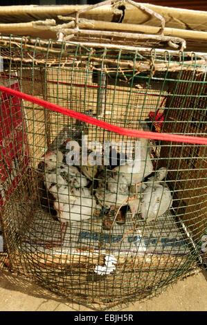 domestic fowl (Gallus gallus f. domestica), fowls in a cage on a market, Sri Lanka, Westprovinz, Negombo - Stock Photo