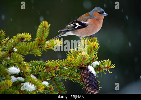chaffinch (Fringilla coelebs), siting on a spruce branch, Sweden, Hamra National Park - Stock Photo