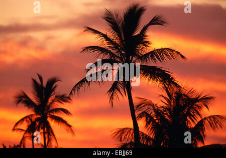 coconut palm (Cocos nucifera), palms at sunset, silhouette, USA, Florida, Everglades National Park, USA - Stock Photo