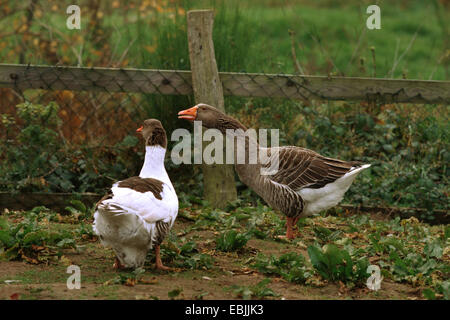 domestic goose (Anser anser f. domestica), a spotted and a grey Pomeranian Goose in a garden - Stock Photo
