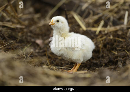 domestic fowl (Gallus gallus f. domestica), one week old free-range chicken, Germany - Stock Photo