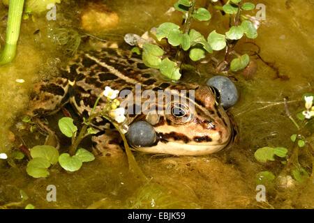 common frog, grass frog (Rana temporaria), croaking, Germany - Stock Photo