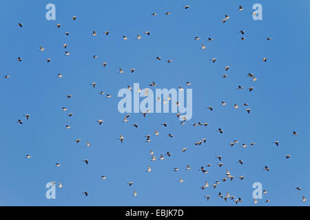 wood pigeon (Columba palumbus), flock in a clear blue sky, Germany, Schleswig-Holstein - Stock Photo