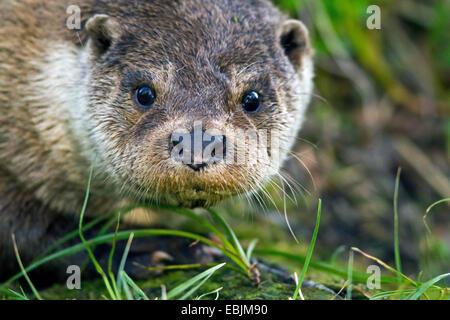 European river otter, European Otter, Eurasian Otter (Lutra lutra), portrait, Norway, Troms - Stock Photo