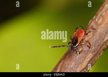 European castor bean tick, European sheep tick (Ixodes ricinus), sitting on a branch, Germany, Bavaria - Stock Photo