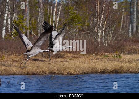 Common crane, Eurasian Crane (Grus grus), taking off couple at a lake, Sweden, Hamra National Park - Stock Photo