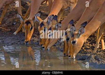 impala (Aepyceros melampus), drinking at waterhole, South Africa, Kwazulu-Natal, Mkuze Game Reserve - Stock Photo