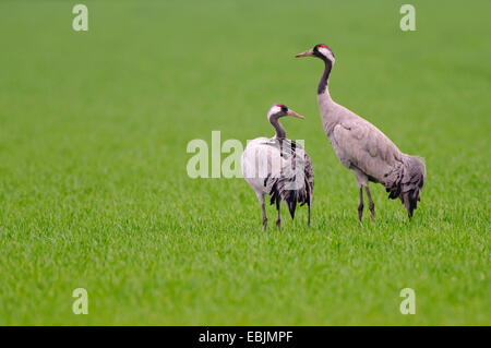 Common crane, Eurasian Crane (Grus grus), pair in a meadow, Germany, Lower Saxony, Goldenstedt, - Stock Photo