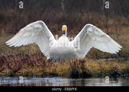 whooper swan (Cygnus cygnus), at a lake with wings outstretched, Sweden, Hamra National Park - Stock Photo