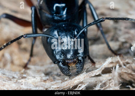 Carpenter ant (Camponotus ligniperdus, Camponotus ligniperda), queen feeding on rotting wood, Germany