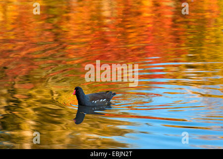 moorhen (Gallinula chloropus), on a lake with autumn colours reflected in the water, Germany, North Rhine-Westphalia - Stock Photo