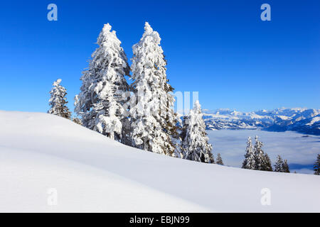 Norway spruce (Picea abies), panoramic view from the snow-covered Rigi, Switzerland - Stock Photo