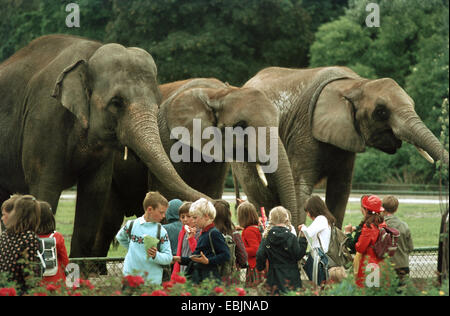 Asiatic elephant, Asian elephant (Elephas maximus), school class at the zoo in front of an open-air enclosure with - Stock Photo
