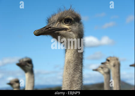 ostrich (Struthio camelus), portrait, South Africa, Western Cape, Oudtshoorn - Stock Photo