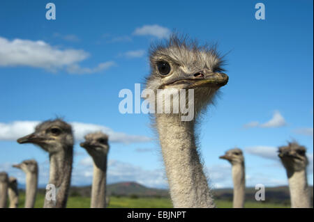 ostrich (Struthio camelus), portrait, South Africa, Western Cape, Oudtshoorn - Stock Photo