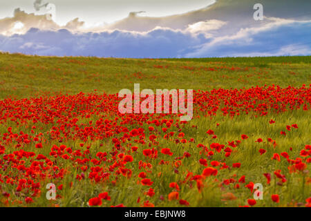 Common poppy, Corn poppy, Red poppy (Papaver rhoeas), in a cornfield with thunderclouds, Germany, Bavaria - Stock Photo