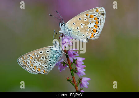 common blue (Polyommatus icarus), two butterflies sitting at heather, Germany, Lower Saxony - Stock Photo