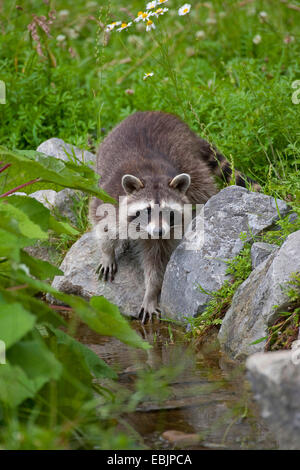 common raccoon (Procyon lotor), standing on stones at a shore , Germany - Stock Photo