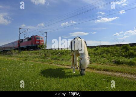 Islandic horse, Icelandic horse, Iceland pony (Equus przewalskii f. caballus), grazing in a meadow, train passing - Stock Photo