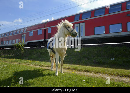 Islandic horse, Icelandic horse, Iceland pony (Equus przewalskii f. caballus), standing in a meadow, train passing - Stock Photo