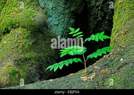 European mountain-ash, rowan tree (Sorbus aucuparia), seedling growing between roots of an old beech, Germany, Hesse, - Stock Photo