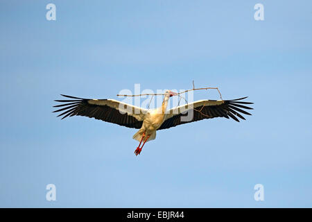 white stork (Ciconia ciconia), Germany, Brandenburg, Linum - Stock Photo