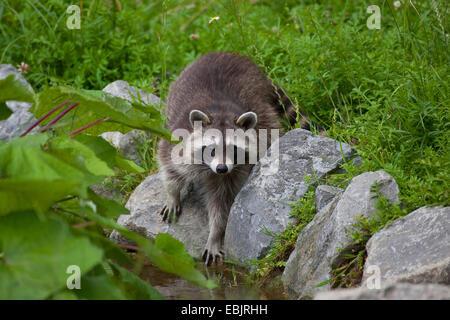common raccoon (Procyon lotor), standing on stones brooksides, Germany - Stock Photo
