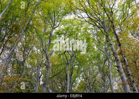 common beech (Fagus sylvatica), beech forest in autum, Germany, Mecklenburg Vorpommern, Jasmund National Park - Stock Photo