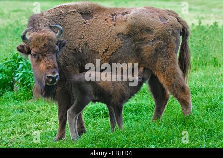 European bison, wisent (Bison bonasus), wisent cow suckling her calf - Stock Photo