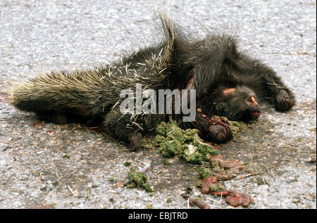 North American porcupine (Erethizon dorsatum), knocked down, lying on a road - Stock Photo