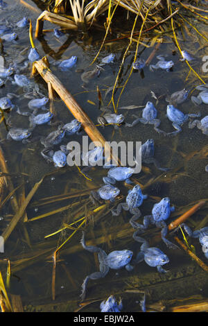 moor frog (Rana arvalis), several males in mating colouration sitting at the surface of a pond on spawn - Stock Photo