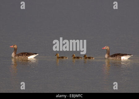 greylag goose (Anser anser), family with three chicks swimming on a lake in a row, Germany - Stock Photo