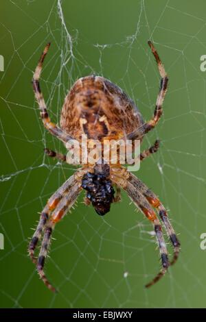 cross orbweaver, European garden spider, cross spider (Araneus diadematus), sitting in spider web, Germany - Stock Photo