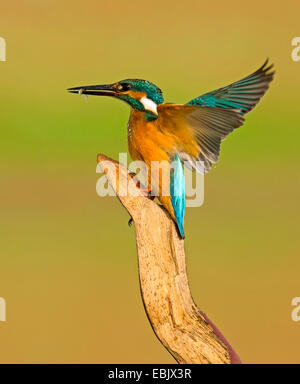 Common Kingfisher (Alcedo atthis), close-up - Stock Photo
